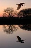 голубая большая цапля Стоковая Фотография