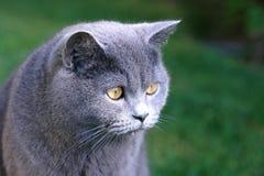голубая великобританская краткость волос Стоковые Фото