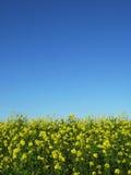 голубая вертикаль неба canola стоковое изображение rf