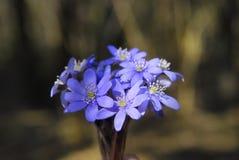 голубая весна цветков стоковая фотография rf
