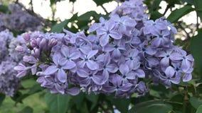 Голубая ветвь сирени в саде видеоматериал