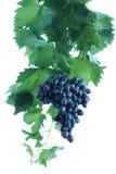 голубая виноградина группы выходит лоза Стоковые Изображения RF