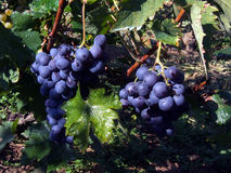 голубая виноградина Стоковое фото RF