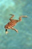 голубая вода лягушки Стоковое Изображение