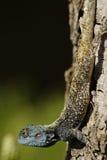 голубая возглавленная ящерица Стоковая Фотография RF