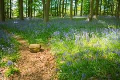 Голубая древесина колокола в весеннем времени Стоковая Фотография