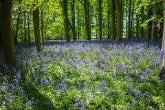 Голубая древесина колокола в весеннем времени Стоковые Фотографии RF
