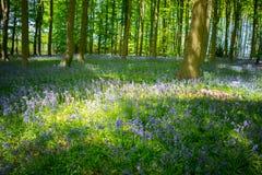 Голубая древесина колокола в весеннем времени Стоковые Изображения RF