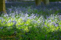 Голубая древесина колокола в весеннем времени Стоковое Изображение