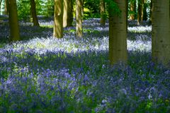 Голубая древесина колокола в весеннем времени Стоковые Изображения