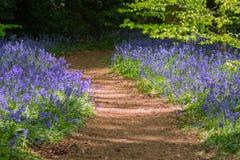 Голубая древесина колокола в весеннем времени Стоковое фото RF