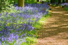 Голубая древесина колокола в весеннем времени Стоковые Фото
