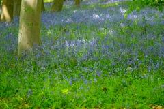 Голубая древесина колокола в весеннем времени Стоковое Фото