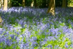 Голубая древесина колокола в весеннем времени Стоковое Изображение RF