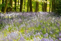 Голубая древесина колокола в весеннем времени Стоковая Фотография RF