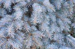 Голубая елевая предпосылка ветви Стоковое Фото