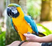 Голубая & желтая ара держа руки с обработчиком птицы стоковое изображение rf