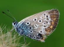 голубая женщина общего бабочки Стоковая Фотография RF