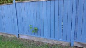 Голубая загородка с лозой стоковые изображения