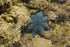 голубая звезда рыб Стоковое Изображение