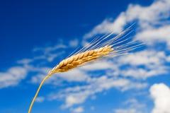 голубая золотистая пшеница неба Стоковые Изображения