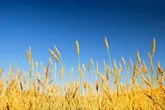 голубая золотистая пшеница неба Стоковое фото RF