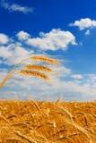 голубая золотистая пшеница неба Стоковые Фотографии RF