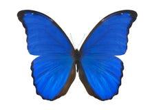 голубая изолированная белизна morpho Стоковая Фотография