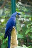 Голубая и желтая ара стоковая фотография rf