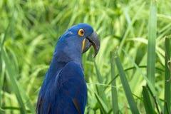 Голубая и желтая ара стоковые фотографии rf
