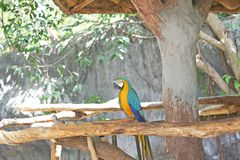 Голубая и желтая ара, Ara Chloropterus стоковая фотография rf