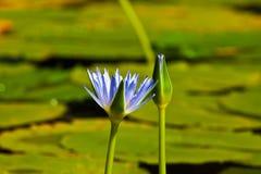 голубая лилия Стоковые Изображения RF