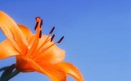 голубая лилия Стоковое Фото