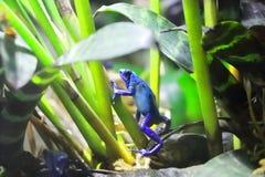 Голубая лягушка дротика отравы стоковые изображения rf