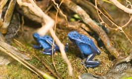 голубая лягушка Стоковая Фотография