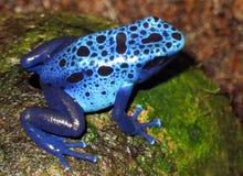 Голубая лягушка Стоковое фото RF
