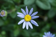 Голубая маргаритка, итальянская астра Стоковые Фото