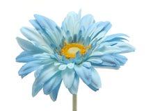 голубая маргаритка Стоковое Фото