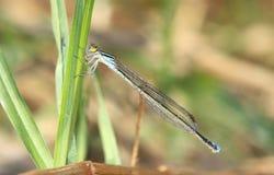голубая муха дракона Стоковые Изображения RF