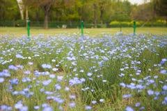 Голубая незабудка цветет цветене в парке стоковое изображение