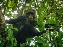 Голубая обезьяна или diademed обезьяна сидя на дереве Стоковая Фотография RF