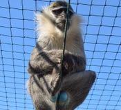 Голубая обезьяна Balled Vervet Обезьяна с голубыми тестикулами в плене стоковые фото