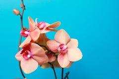 голубая орхидея стоковые изображения