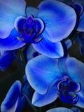 голубая орхидея стоковые фото