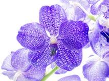 голубая орхидея Стоковые Фотографии RF