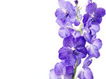 голубая орхидея Стоковое фото RF