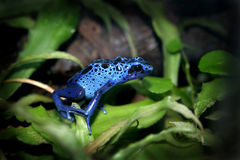 голубая отрава лягушки дротика Стоковое Изображение RF