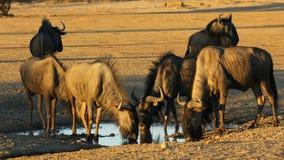 Голубая питьевая вода антилопы гну - пустыня Kalahari акции видеоматериалы