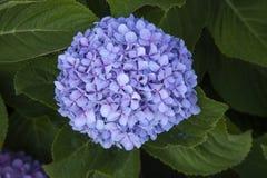 Голубая предпосылка гортензии стоковое изображение rf