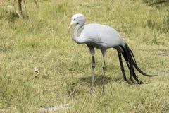 Голубая птица крана стоя и ища еда Стоковое Изображение